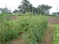 tomato001.jpg