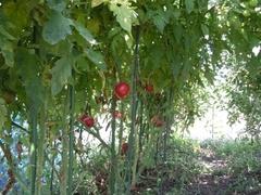 tomato003.jpg